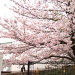 富士通ソリューションスクエアの桜