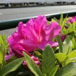 Huawei P9 lite 花を撮影