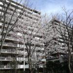 中庭に桜の木