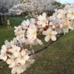 インスタ映えのためなら桜の枝くらい折らせろの精神